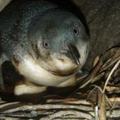 Little penguin. Adult on nest with oil on feathers and eggs. Mauao, Mt Maunganui, Bay of Plenty, November 2001. Image © Paul Cuming by Paul Cuming