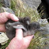 Little penguin. White-flippered penguin chicks. Christchurch, December 2009. Image © James Mortimer by James Mortimer