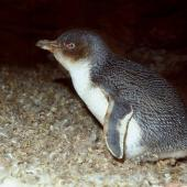 Little penguin. Adult white-flippered penguin in breeding cave. Flea Bay, Banks Peninsula, October 1986. Image © Colin Miskelly by Colin Miskelly