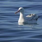 Wandering albatross. Presumed snowy wanderer. Kaikoura pelagic, March 2010. Image © David Boyle by David Boyle