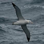 Wandering albatross. Sub-adult in flight, ventral. Drake Passage, December 2006. Image © Nigel Voaden by Nigel Voaden http://www.flickr.com/photos/nvoaden/