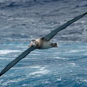 Wandering albatross. Immature flight ventral. Drake Passage, December 2006. Image © Nigel Voaden by Nigel Voaden http://www.flickr.com/photos/nvoaden/