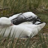 Wandering albatross. Adult sleeping on nest. Prion Island,  South Georgia, January 2016. Image © Rebecca Bowater  by Rebecca Bowater FPSNZ AFIAP www.floraandfauna.co.nz