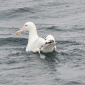 Wandering albatross. Resting on the water. Approaching South Georgia, from the Falklands, December 2015. Image © Cyril Vathelet  by Cyril Vathelet