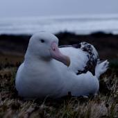 Wandering albatross. Adult male on nest. Possession Island, Crozet Islands, December 2015. Image © Colin Miskelly by Colin Miskelly