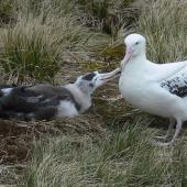 Wandering albatross. Adult feeding well-grown chick. Prion Island, South Georgia, November 2009. Image © Tony Crocker by Tony Crocker