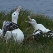 Wandering albatross. Adults displaying at nest site. Prion Island, South Georgia, February 2008. Image © Tony Crocker by Tony Crocker
