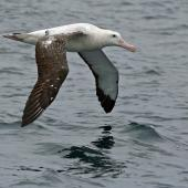 Antipodean albatross. Adult Gibson's subspecies in flight. Kaikoura pelagic, October 2008. Image © Duncan Watson by Duncan Watson