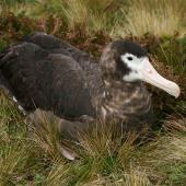 Antipodean albatross. Dark adult female. Antipodes Island, February 2008. Image © David Boyle by David Boyle