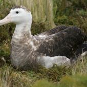 Antipodean albatross. Pale adult female. Antipodes Island, February 2011. Image © David Boyle by David Boyle