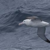 Antipodean albatross. Adult in flight showing underwing. Tasman Sea off Fiordland coast, November 2011. Image © Steve Attwood by Steve Attwood http://stevex2.wordpress.com/