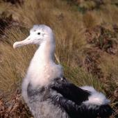 Antipodean albatross. Large chick at nest. Antipodes Island, October 1996. Image © Terry Greene by Terry Greene