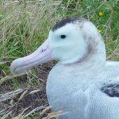 Antipodean albatross. Close view of adult showing feather details. Chatham Island, February 2004. Image © Graeme Taylor by Graeme Taylor