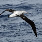 Antipodean albatross. Immature Gibson's subspecies showing upper surface. Drake Passage, December 2006. Image © Nigel Voaden by Nigel Voaden http://www.flickr.com/photos/nvoaden/