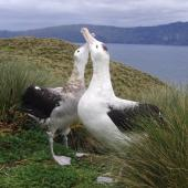 Antipodean albatross. Gibson's albatrosses displaying at breeding ground (male on right). Disappointment Island,  Auckland Islands, January 2018. Image © Colin Miskelly by Colin Miskelly