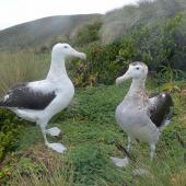 Antipodean albatross. Gibson's albatross pair. Disappointment Island,  Auckland Islands, January 2018. Image © Alan Tennyson by Alan Tennyson