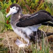 Antipodean albatross. Female on nest with egg. Campbell Island, January 2007. Image © Ian Armitage by Ian Armitage