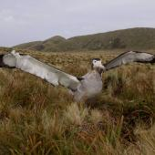 Antipodean albatross. Male showing underwing. Antipodes Island, February 2009. Image © Mark Fraser by Mark Fraser
