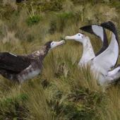 Antipodean albatross. Pair displaying, female left and male right. Antipodes Island, February 2009. Image © Mark Fraser by Mark Fraser