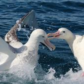 Antipodean albatross. Gibson's subspecies; two adults fighting. Kaikoura pelagic, January 2015. Image © Silvia Giombi by Silvia Giombi