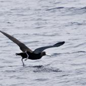Antipodean albatross. Juvenile taking off. Mayor Island, March 2008. Image © Raewyn Adams by Raewyn Adams