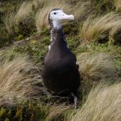 Antipodean albatross. Chick close to fledging. Antipodes Island, January 2011. Image © Mark Fraser by Mark Fraser