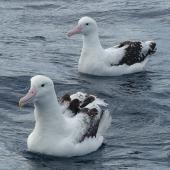 Antipodean albatross. Adult (behind) with southern royal albatross (front). Off Kaikoura Peninsula, June 2015. Image © Alan Tennyson by Alan Tennyson