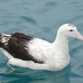 Antipodean albatross. Adult on water. Off Kaikoura, June 2008. Image © Alan Tennyson by Alan Tennyson