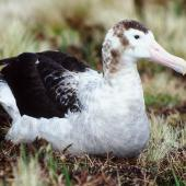 Antipodean albatross. Adult female showing feather details. Antipodes Island, October 1990. Image © Colin Miskelly by Colin Miskelly