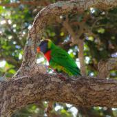 Rainbow lorikeet. Adult (one of two birds). Waitara River mouth, Taranaki, October 2019. Image © Steve Purdon by Steve Purdon