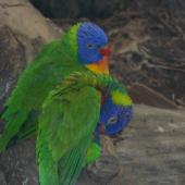 Rainbow lorikeet. Captive adults. Wellington Zoo, September 2015. Image © George Curzon-Hobson by George Curzon-Hobson