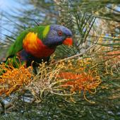 Rainbow lorikeet. Adult feeding on nectar. Runaway Bay,  Gold Coast,  Queensland, August 2007. Image © Rebecca Bowater by Rebecca Bowater FPSNZ AFIAP www.floraandfauna.co.nz