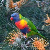 Rainbow lorikeet. Adult . Port Macquarie, New South Wales, Australia, April 2013. Image © Edin Whitehead by Edin Whitehead www.edinz.com