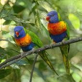 Rainbow lorikeet. Two adults perched. Atherton Tableland,  Queensland,  Australia, July 2017. Image © Rebecca Bowater by Rebecca Bowater FPSNZ AFIAP www.floraandfauna.co.nz