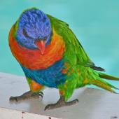 Rainbow lorikeet. Adult begging at a cafe. Hamilton Island, Queensland, October 2009. Image © John Flux by John Flux