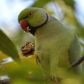 Rose-ringed parakeet. Adult male feeding on walnuts. Johannesburg, South Africa, May 2013. Image © Marie-Louise Myburgh by Marie-Louise Myburgh
