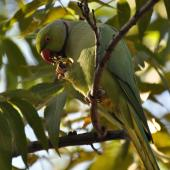 Rose-ringed parakeet. Adult male feeding on walnuts . Johannesburg, South Africa, May 2013. Image © Marie-Louise Myburgh by Marie-Louise Myburgh