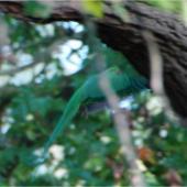 Rose-ringed parakeet. Adult female in flight. Nieuwersluis, Netherlands, October 2007. Image © Sarah Jamieson by Sarah Jamieson