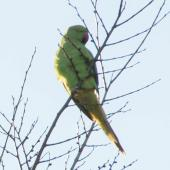 Rose-ringed parakeet. Adult. Keirunga Gardens, Havelock North, August 2017. Image © Malcolm Rutherford by Malcolm Rutherford