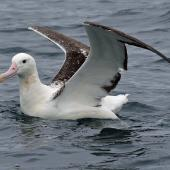 Southern royal albatross. Immature on water with wings raised. Kaikoura pelagic, October 2008. Image © Duncan Watson by Duncan Watson