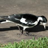 Magpie-lark. Adult female. Cairns area, September 2010. Image © Dick Porter by Dick Porter