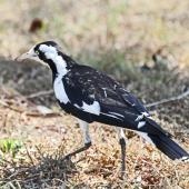 Magpie-lark. Adult female. Darwin area, July 2012. Image © Dick Porter by Dick Porter
