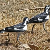 Magpie-lark. Adult pair, male on right. Darwin area, July 2012. Image © Dick Porter by Dick Porter