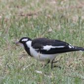 Magpie-lark. Immature bird with insect. Melbourne, November 2015. Image © Sonja Ross by Sonja Ross