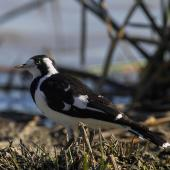 Magpie-lark. Adult female. Melbourne. Image © Sonja Ross by Sonja Ross