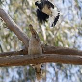 Magpie-lark. Adult male attacking a laughing kookaburra which has a blue-tongued lizard in its bill. Melbourne, November 2015. Image © Sonja Ross by Sonja Ross