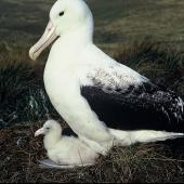 Southern royal albatross. Adult and chick on nest . Campbell Island, March 1971. Image © Department of Conservation ( image ref: 10038254 ) by Don Merton Courtesy of Department of Conservation