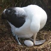 Southern royal albatross. Adult at nest with egg. Enderby Island, Auckland Islands, November 2009. Image © Kate Beer by Kate Beer