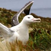 Southern royal albatross. Adult near nest with wings raised. Campbell Island, January 2007. Image © Ian Armitage by Ian Armitage