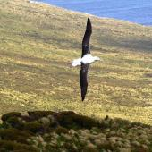 Southern royal albatross. Dorsal view of juvenile in flight. Campbell Island, January 2007. Image © Ian Armitage by Ian Armitage